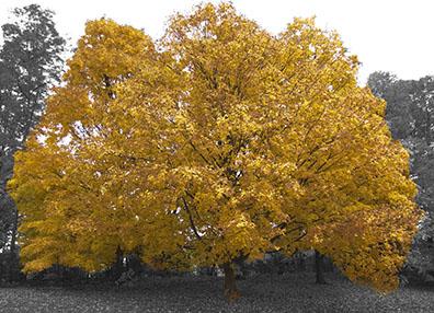 Maple Tree - Nature